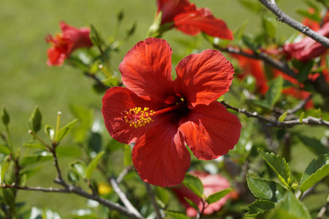 Teakruthi What Is Hibiscus Tisane And Why Is It Healthy