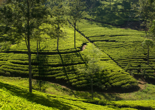 Slopes of Ceylon's Dimbulla tea region