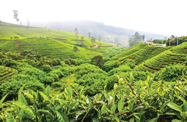 The tea slopes of Sri Lanka