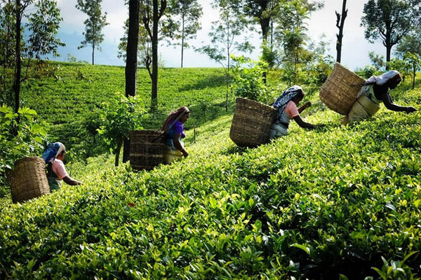 Tea plucking in Sri Lanka's hill country