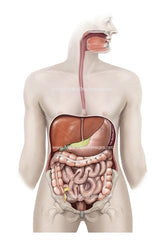 GASTROINTESTINAL TRACT WITH PELVIS