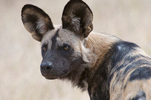 African Painted Dog courtsey of the Painted Dog Conservation Society and DSWF