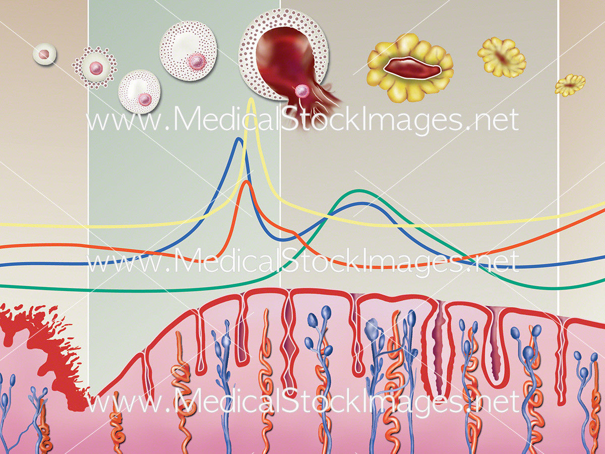 Menstrual cycle diagram medical stock images company menstrual cycle diagram ccuart Image collections