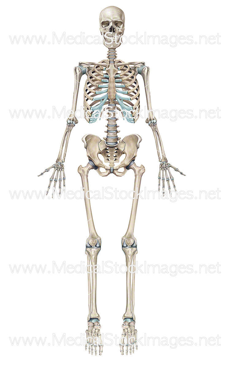 Full Human Skeleton Anterior View Male Medical Stock Images Company