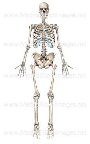 Full Human Skeleton Anterior View (Male).