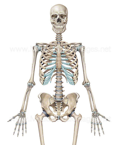 full human skeleton anterior view (male). – medical stock images, Skeleton