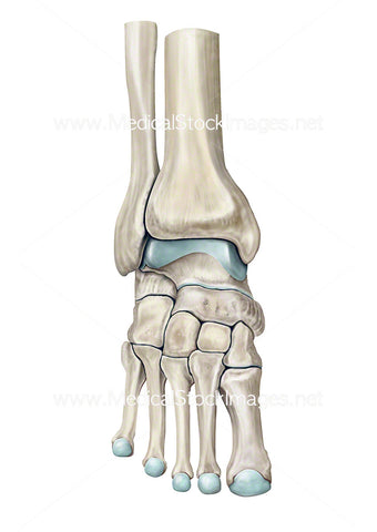 Bones of the Ankle Joint.