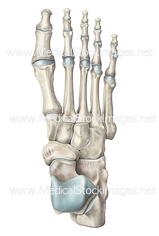 Illustration of the Skeletal Foot