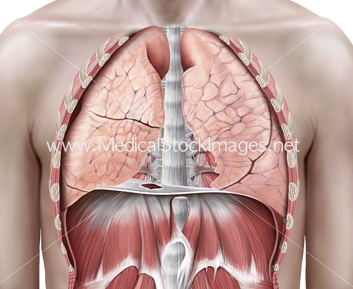 Lungs in the Thoracic Cavity – Medical Stock Images Company