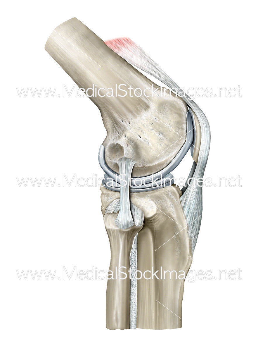 Healthy Knee Lateral Anatomy Created in Digital Color – Medical ...