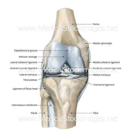 Healthy Knee Anterior View Labelled