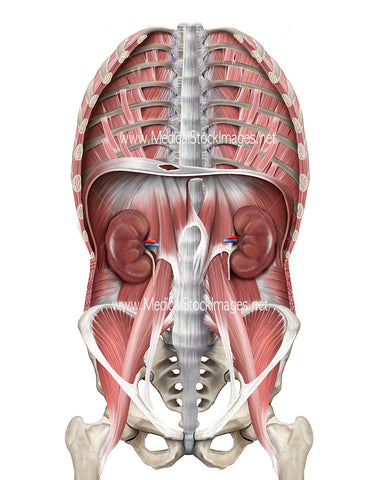 Illustration of Thoracic Region Including Diaphragm, Pelvis, Kidneys