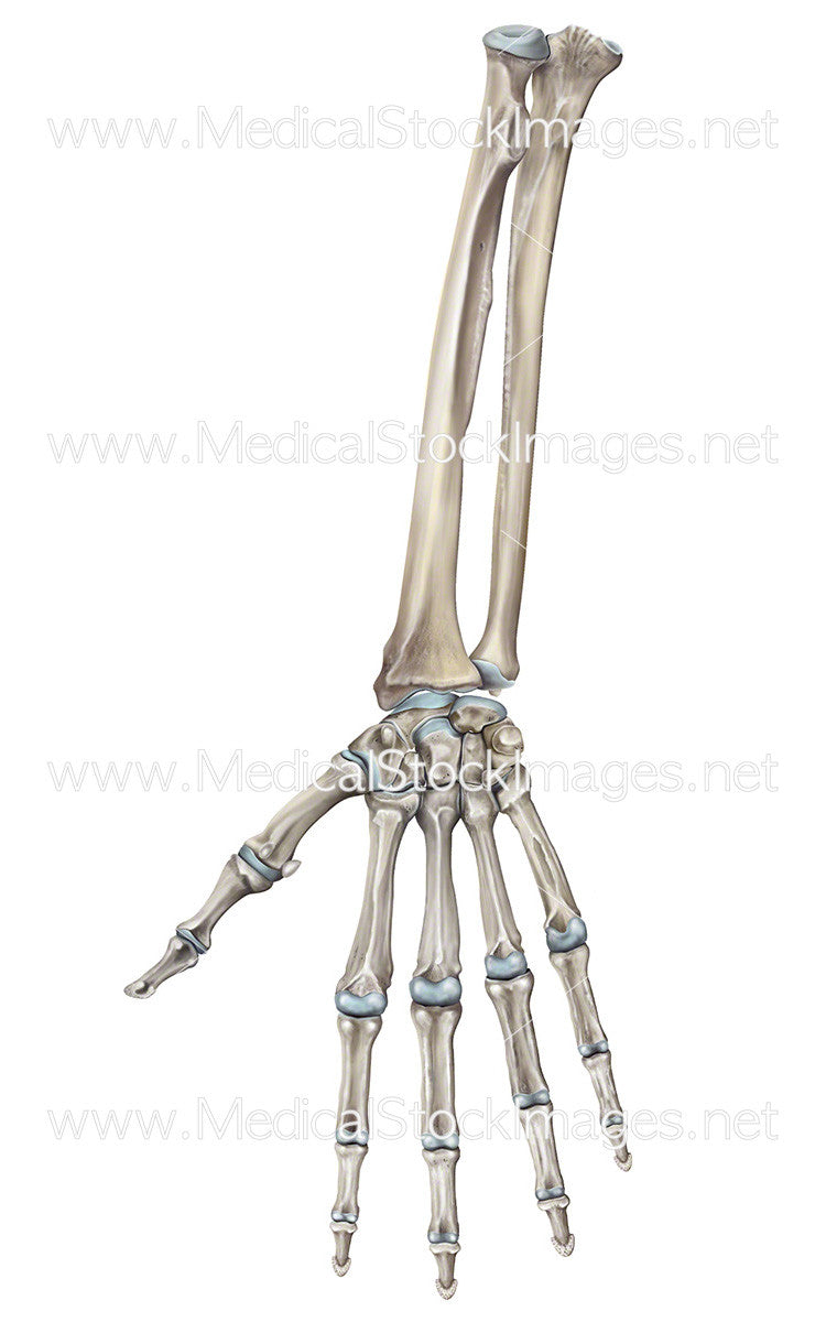 Digtal Illustrations Bony Anatomy Forearm Wrist & Hand – Medical ...