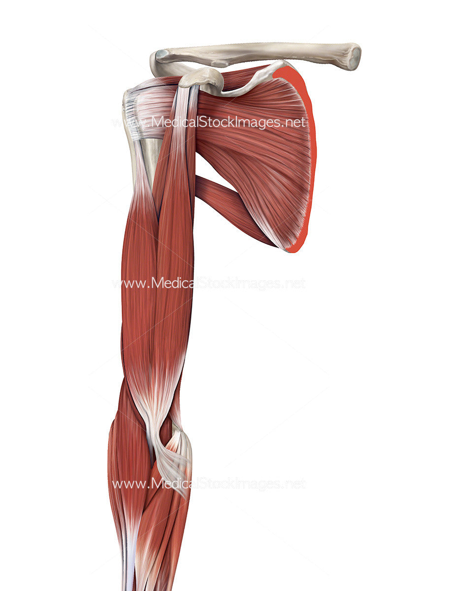 Muscles of the Shoulder and Arm Anterior View – Medical Stock Images ...