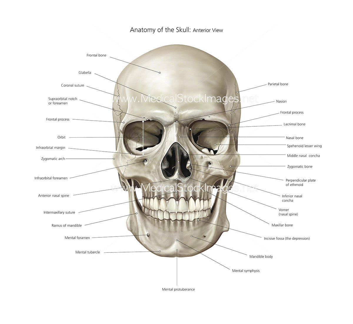 Anatomy of Skull Illustration | Anterior View Labelled – Medical ...