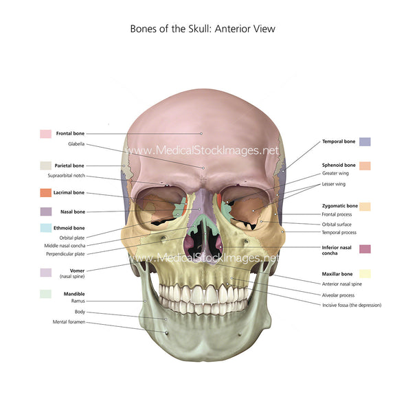 Stock Image of Bones of the Skull With Colour Labels ...