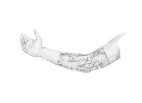Pencil Drawing of the Muscles of the Elbow in Dissection