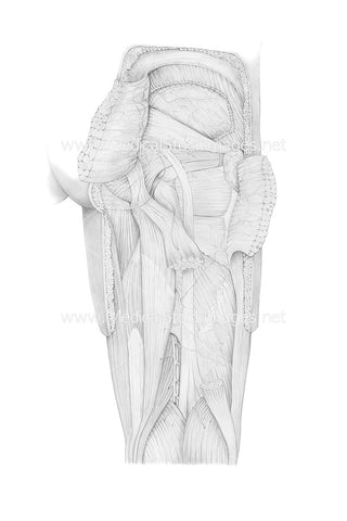Pencil Drawing of the Posterior View of Leg Gluteus Maximus