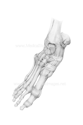 Pencil Drawing of Bony Anatomy of the Foot