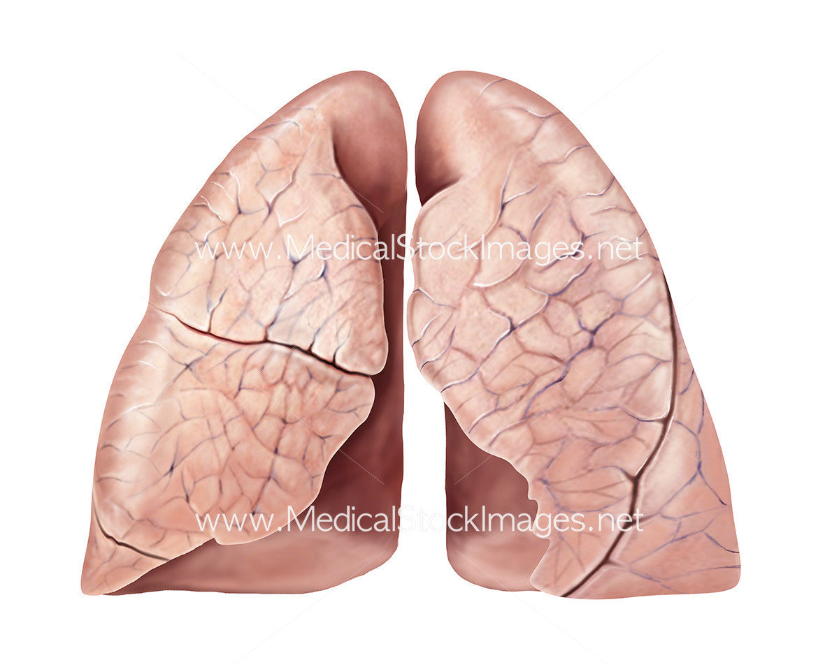 Medical Ilustration Of Lungs Healthy Surface Anatomy Medical Stock