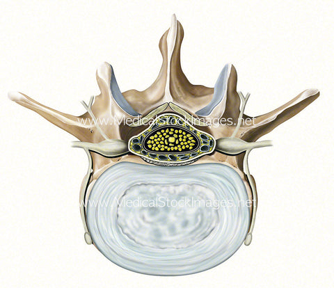 Superior View of a Single Lumbar Vertebra and Intervertebral Disc