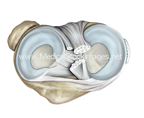 Superior View of Meniscus of the Knee
