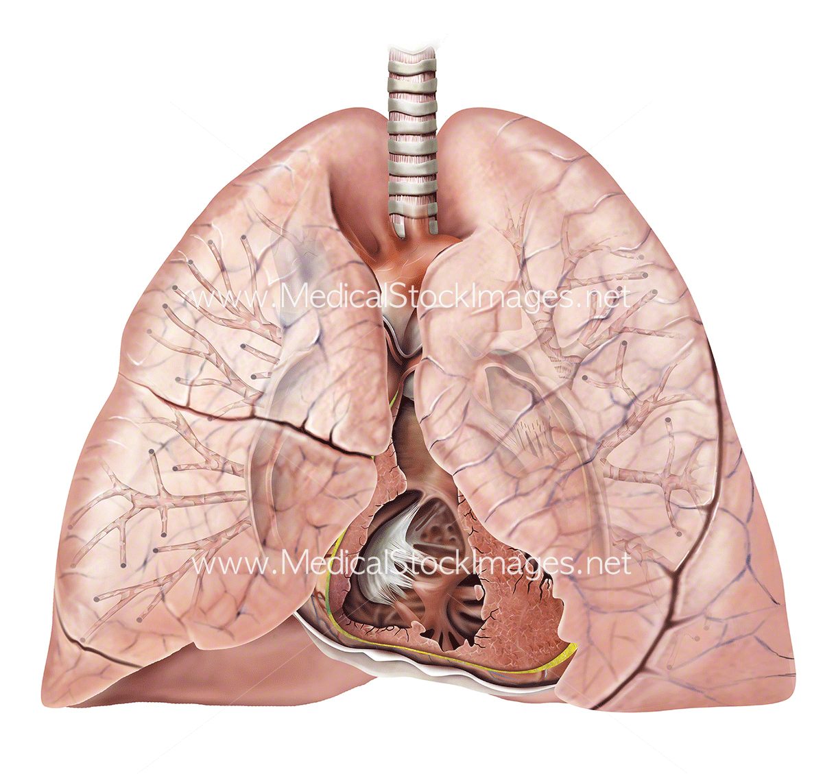 Healthy Heart and Lung Anatomy – Medical Stock Images Company