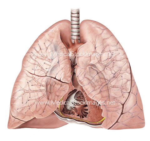 Healthy Heart and Lung Anatomy