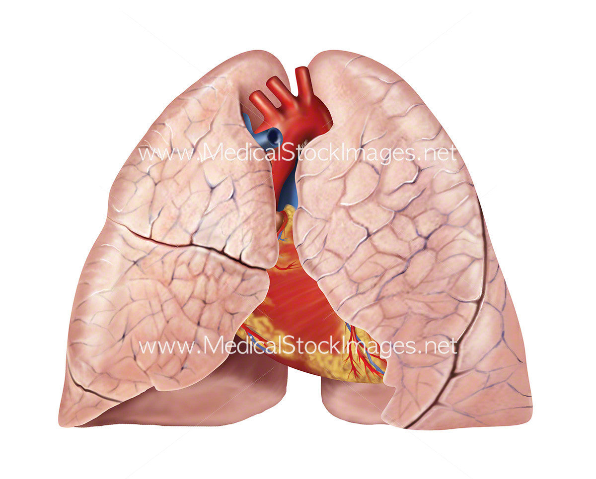 Medical illustration of heart & lung anatomy – Medical Stock Images ...
