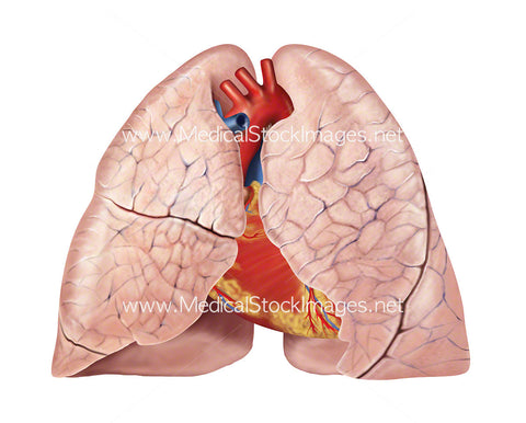 Heart and lung anatomy, anterior view
