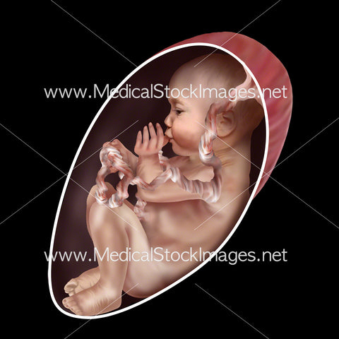 Foetus Development Week 27