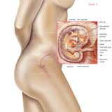 Foetus Development Weeks 1 to 40 Including Body with Labels - PACK OF 40 IMAGES