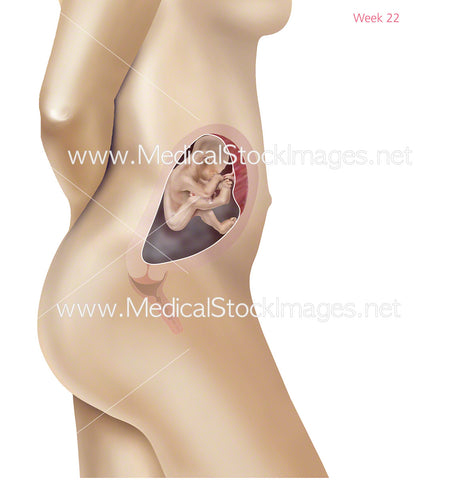 Foetus Development Week 22 Including Body with Labels