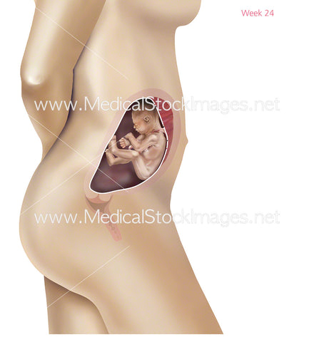 Foetus Development Week 24 Including Body with Labels