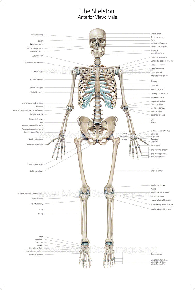 Full Size Skeleton Anterior View With Labelling Medical Stock