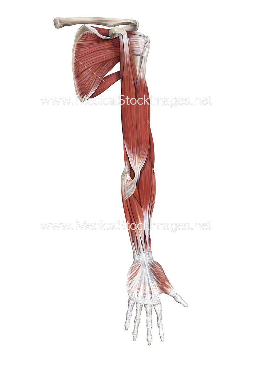 Muscle Anatomy of the Shoulder, Arm and Hand – Medical Stock Images ...