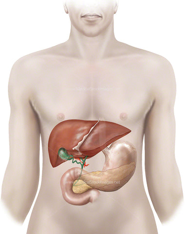 Anatomy of Liver, Gallbladder, Stomach and Pancreas
