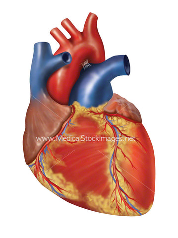 Illustration of Heart Surface
