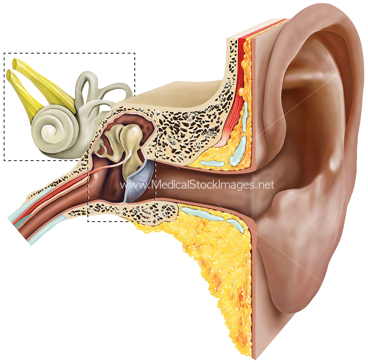 Anatomy of Inner and Outer Ear – Medical Stock Images Company