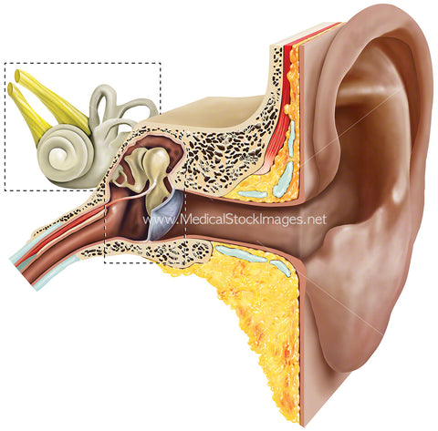 Anatomy of Inner and Outer Ear