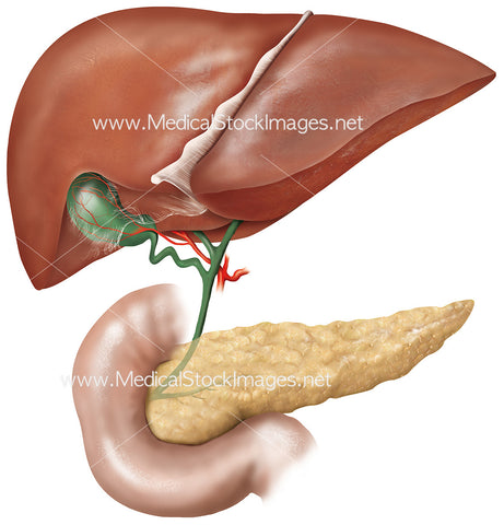 Liver, Pancreas and Gallbladder Anatomical Illustration
