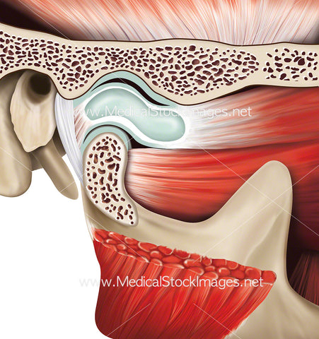 Temporomandibular Joint Anatomy