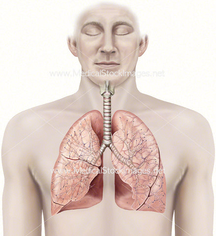 Healthy Lungs and Bronchiole Anatomy