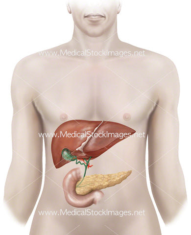 Anatomy of Liver, Gallbladder and Pancreas