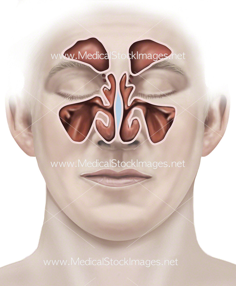 Contemporary Anatomy Of Sinus Vignette - Anatomy and Physiology ...