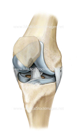 Healthy Knee Joint Ligaments