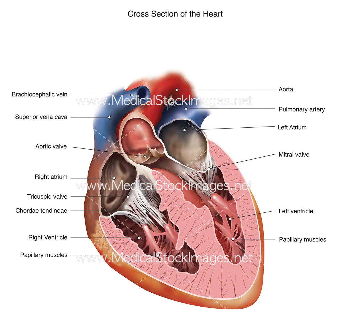 Heart Cross Section Labelled Medical Stock Images Company