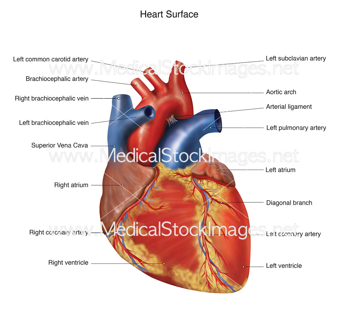 Heart Surface Medical Stock Images Company