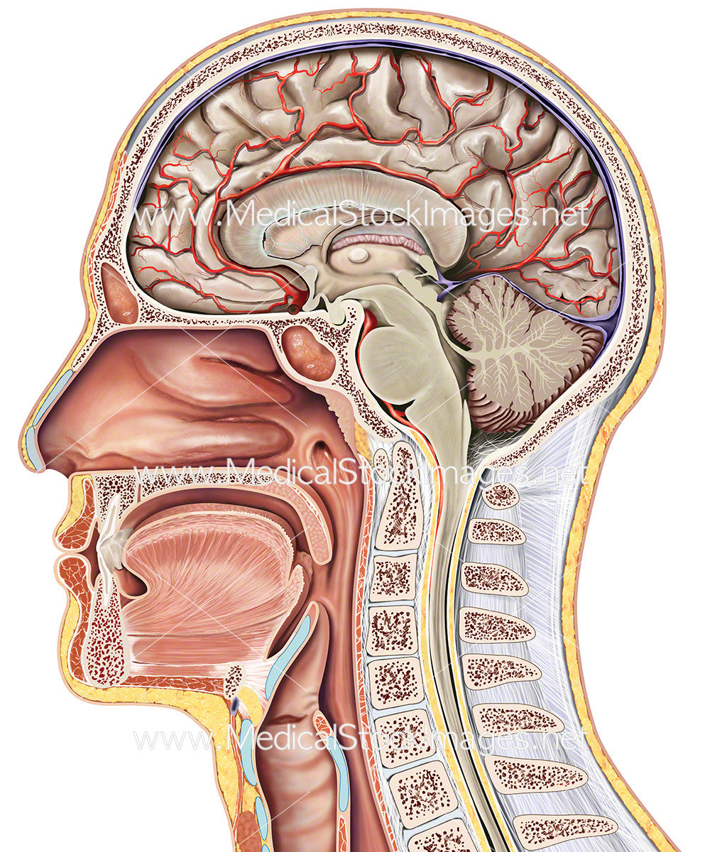 Midsagittal Section of the Head – Medical Stock Images Company