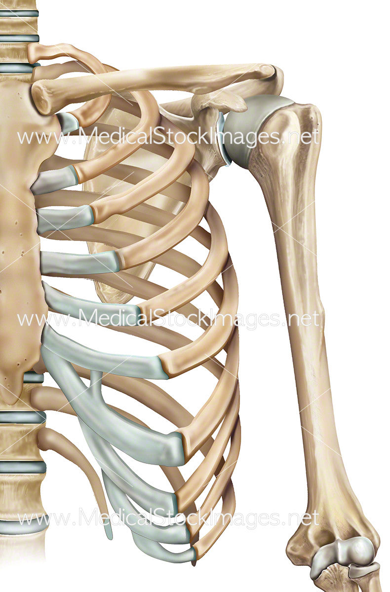 Rib Cage and Shoulder Anatomy Left Side – Medical Stock Images Company